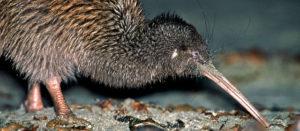 Kiwi fågel NZ